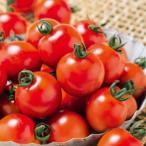 ミニトマトの種  千果99  小袋(14粒) ( 野菜の種 )
