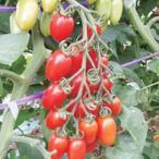 ミニトマトの種 シシリアンルージュCF小袋(100粒) ( 野菜の種 )