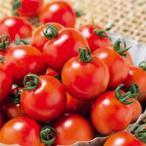 ミニトマトの種  千果99  ペレット1000粒 ( 野菜の種 )