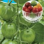 ミニトマトの種 ミドリちゃん  8粒 ( 野菜の種 )