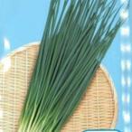 ネギの種 ネギの種 小ねぎ 竹千代 1L ( 野菜の種 )