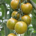 トマトの種 ミニトマト しましまイエロー 100粒 ( 野菜の種 )