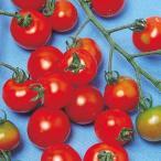 ミニトマトの種 レッドピグミー 小袋(20粒) ( 野菜の種 )