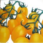 ミニトマトの種 ミニトマトイエローピコ GF GF 30粒 ( 野菜の種 )