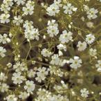 かすみ草 種  宿根かすみ草 スノーフレーク  小袋 ( かすみ草の種 )