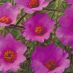 紫桃色の大輪花