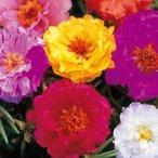 大きな八重咲きの花が咲く