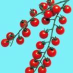 ミニトマトの種 ミニルック 1,000粒 ( 野菜の種 )