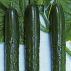 キュウリの種 青函白いぼ 20ml ( 野菜の種 )