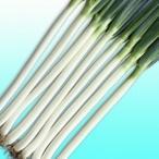 ネギの種 長悦ねぎ 小袋 約2dl ( 野菜の種 )
