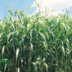 緑肥の種 ソルガム 緑肥用ソルゴー 小袋(60ml)