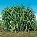 緑肥の種 ギニアグラス ナツカゼ 500g