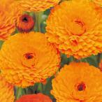 金盞花(キンセンカ) 種  オレンジ スター  1dl ( 金盞花(キンセンカ)の種 )