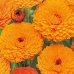金盞花 キンセンカ 種  金盞花オレンジスター  20ml ( 金盞花 キンセンカの種 )