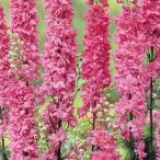 千鳥草 種  マーべラス ピンク  小袋 ( 千鳥草の種 )