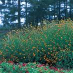 フレンチマリーゴールド(孔雀草) 種 グランドコントロール 小袋(約100粒) ( フレンチマリーゴールド(孔雀草)の種 )