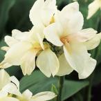 カンナ 種  トロピカル ホワイト  小袋 ( カンナの種 )