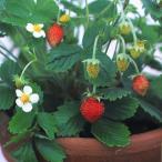 一面いい香り!ワイルドストロベリー 四季なりイチゴ 小袋