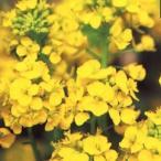ショッピング春 菜の花(はなな) 種  寒咲系 混合  実咲小袋 ( 菜の花(はなな)の種 )