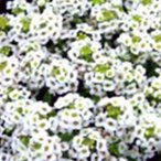 アリッサム 種  イースターボネット ホワイト  10ml ( アリッサムの種 )