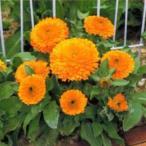 金盞花(キンセンカ) 種  オレンジ ゼム  1dl ( 金盞花(キンセンカ)の種 )