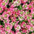 アリッサム 種  イースターボネット ディープピンク  10ml ( アリッサムの種 )