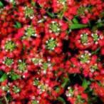 アリッサム 種  イースターボネット ディープローズ  10ml ( アリッサムの種 )