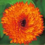 金盞花(キンセンカ) 種  ネオン  小袋 ( 金盞花(キンセンカ)の種 )