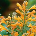 アガスターシャ 種  アリゾナ サンドストーン  小袋 ( アガスターシャの種 )