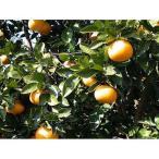 柑橘類の苗 ダイダイ 1年生苗木