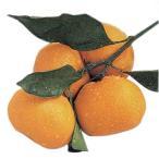 柑橘類の苗 紀州みかん 1年生苗木