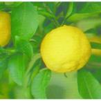 柑橘類の苗 多田錦 ( ただにしき ) 1年生苗木