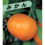 柑橘類の苗 極早生 上野温州みかん 2年生苗木
