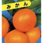 柑橘類の苗 青島温州みかん 1年生苗木