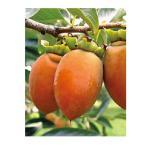 果樹苗 甘柿 筆柿 ( ふでかき ) 1年生苗木