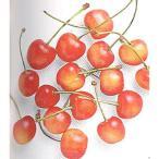果樹苗 サクランボ 高砂 ( たかさご ) 1年生苗木