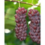果樹苗 ブドウ デラウェア 1年生苗木