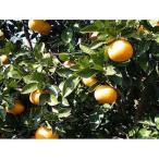 柑橘類の苗 ダイダイ 2年生苗木