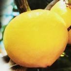 柑橘類の苗 ライム 1年生苗木