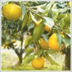柑橘類の苗 じゃばら 1年生苗木