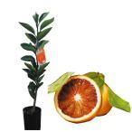 柑橘類の苗 ブラッドオレンジ 1年生苗木