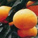 柑橘類の苗 【 ゆら早生 】 1年生苗木