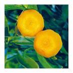 柑橘類の苗 福来みかん 1年生苗木