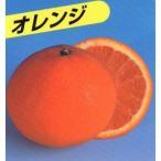 柑橘類の苗 清見オレンジ 2年生苗木