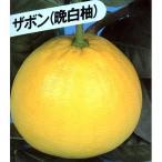柑橘類の苗 晩白柚 ( ばんぺいゆ 別名: ザボン ) 2年生苗木