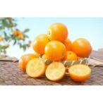 柑橘類の苗 ぷちまる 2年生苗木