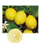 柑橘類の苗 とげなしレモン 2年生苗木