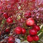 苗木 果樹 ベリー類 つる性ベリー類 クランベリー