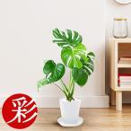 観葉植物 選べる6号セラアート鉢 ウンベラータ ドラセナ モンステラ ユッカ 父の日