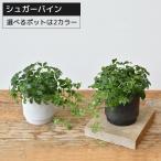 観葉植物 シュガーバイン マットホワイトポット マットブラックポット 開店祝い 小さい 卓上